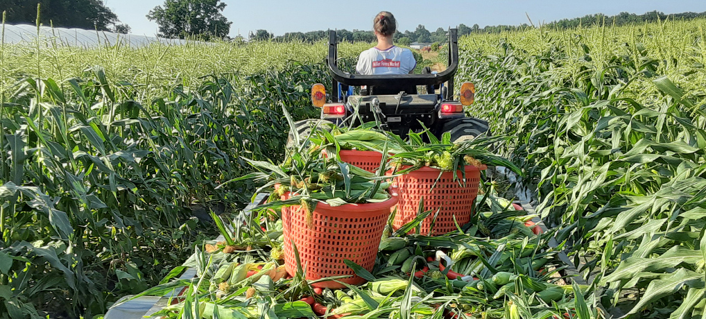 Sweet Corn, picked daily!