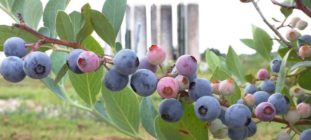 BLUEBERRY PATCH IS LOADED WITH RIPE BLUEBERRIES!