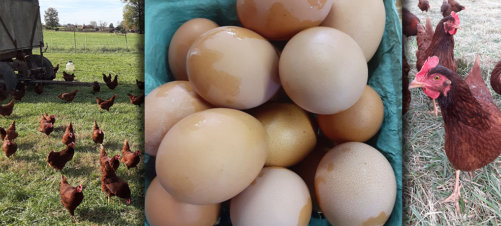 Miller Farms Fresh Eggs
