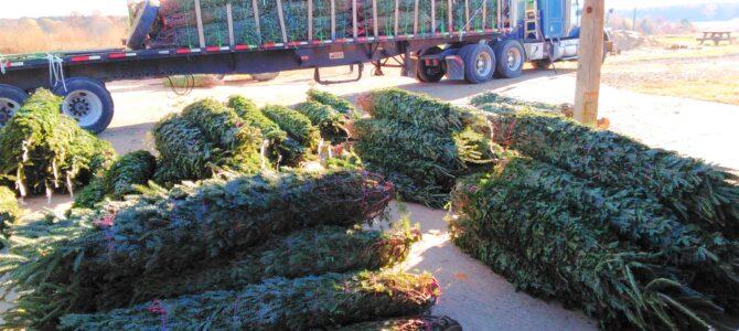 Fraser Fir Christmas Trees Arriving Nov 25th