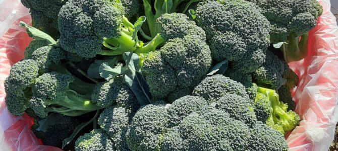 Fresh Broccoli, just Harvested!