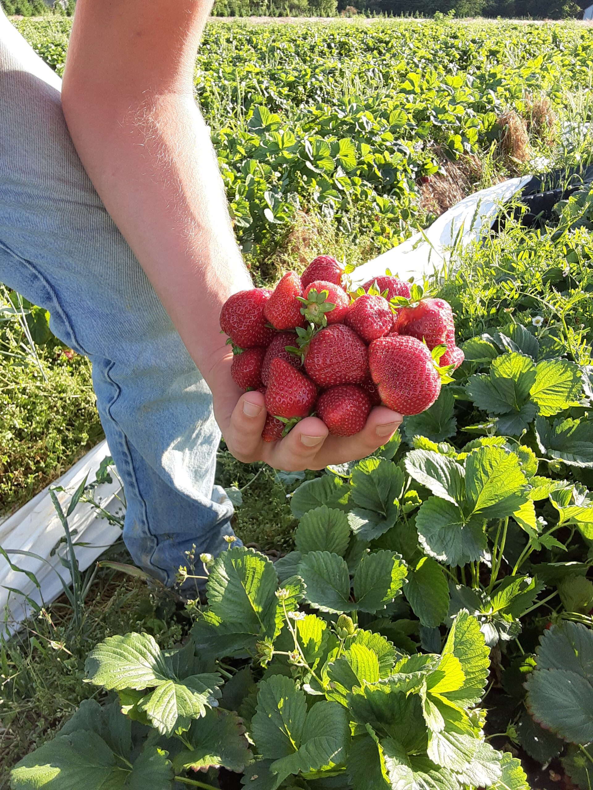 Yes, we still have plenty of STRAWBERRIES to Pick!