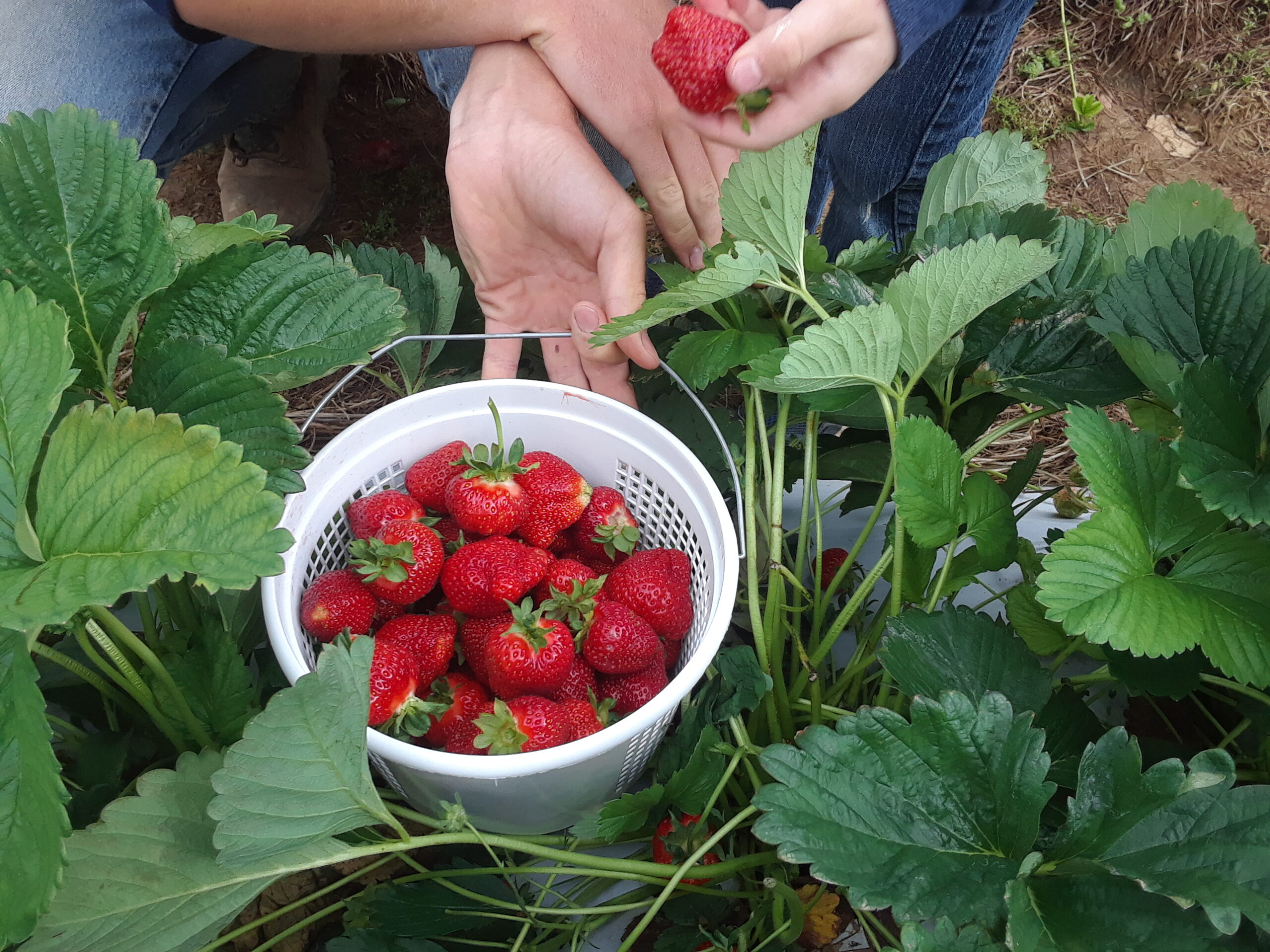 Strawberry update:  Yes, we STILL have Strawberries and the pickin' is good!