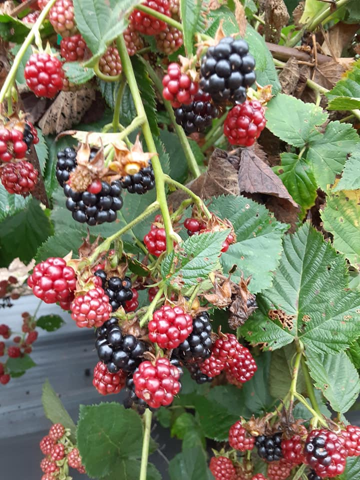 U-Pick BLACKBERRIES AND BLUEBERRIES! $5/LB. 9am-4:45pm today. 8am to 4:45pm Saturday. Come on out and pick today… Its cloudy today and not nearly so hot. See you on the patches!