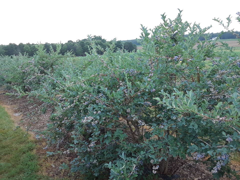 Blueberries, pick your own today!  9am-4:45pm.