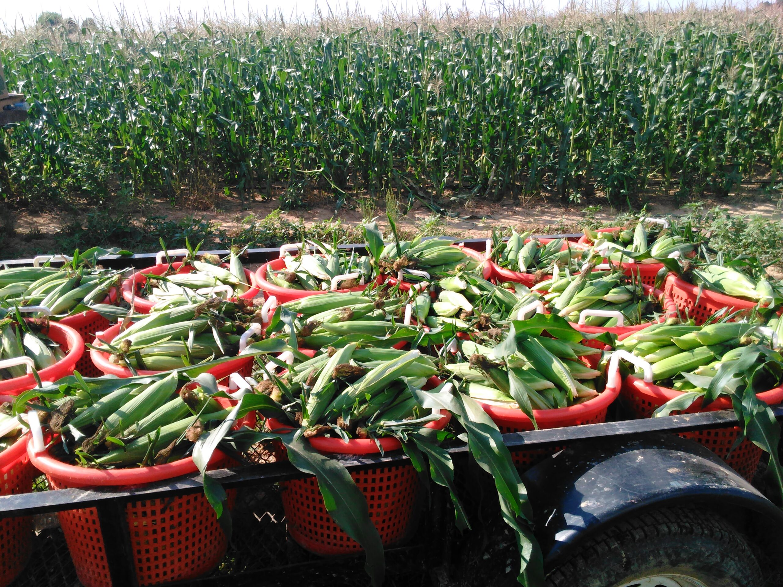 Rainy Friday at Miller Farms….Still lots of Fresh Sweet Corn, Pumpkins, Apples, and More!