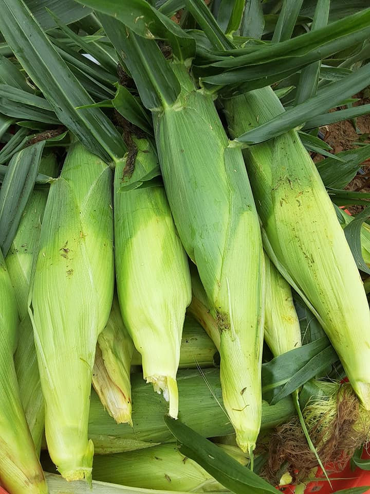 Sweet Corn, plenty by the dozen and plenty by the ear.  No 5 dozen bags at this time.