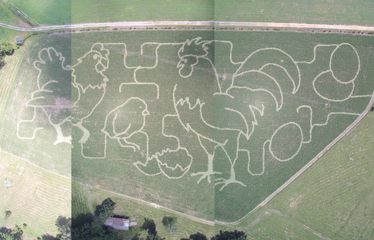 Corn Maze at Miller Farms!  Chickens!  This Saturday!