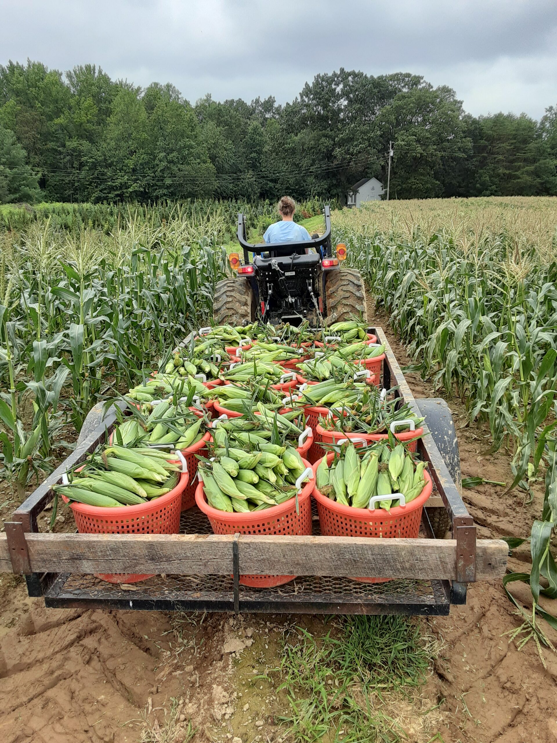 Plenty of Fresh Picked Sweet Corn!  Tomatoes are almost done for the year.  We will pick again next week.