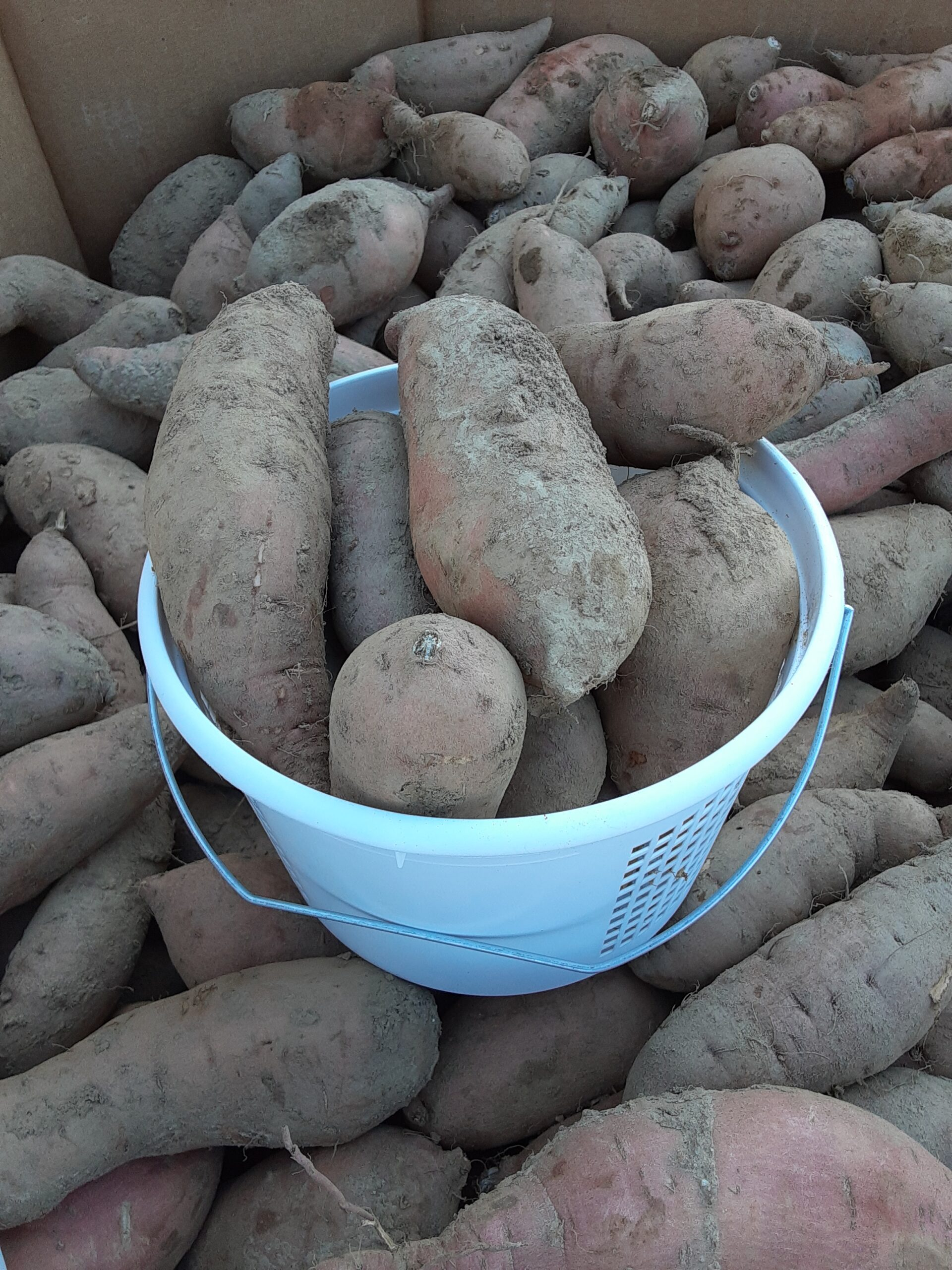 Sweet Potatoes from our friends at Lois's Produce in Westmoreland County.