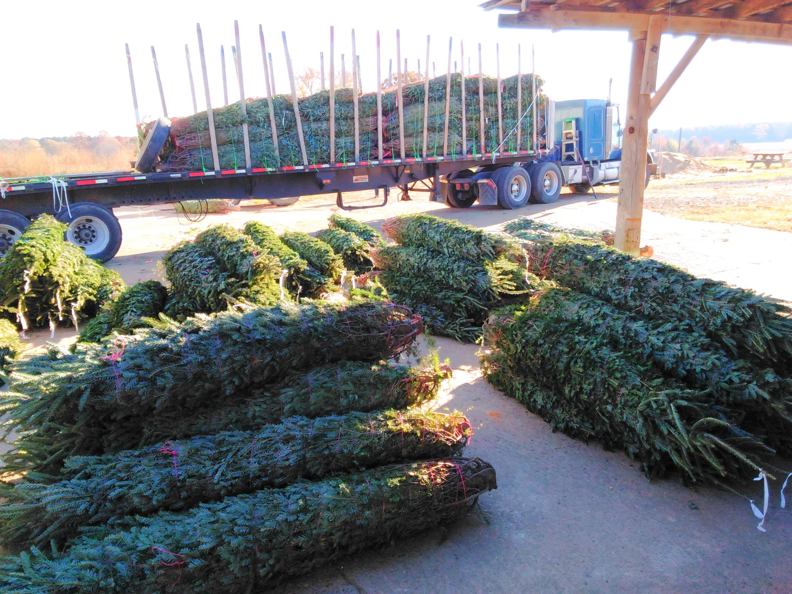 Fresh Cut Fraser Firs will arrive on Monday Nov 23