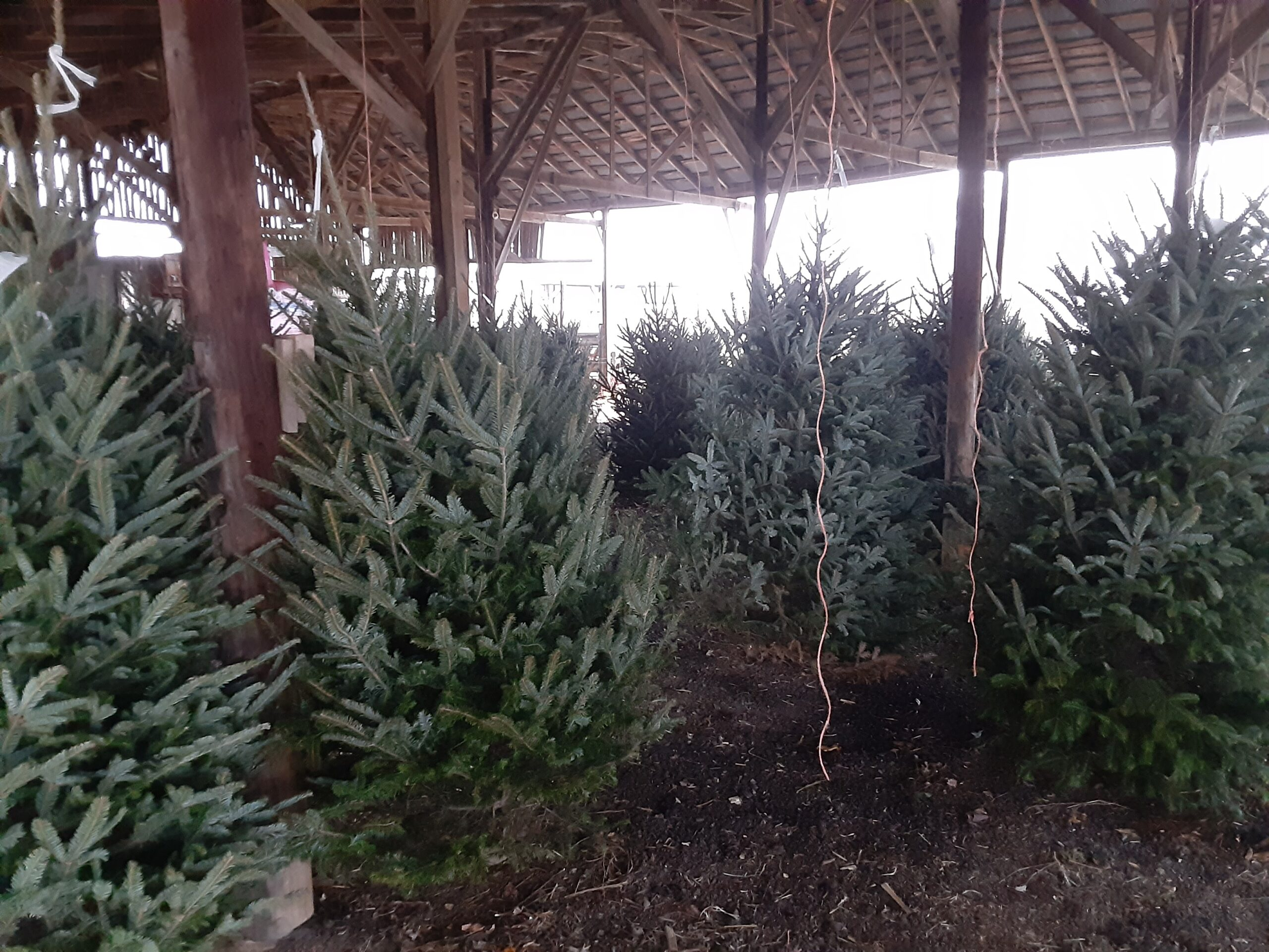 Christmas Trees and more!