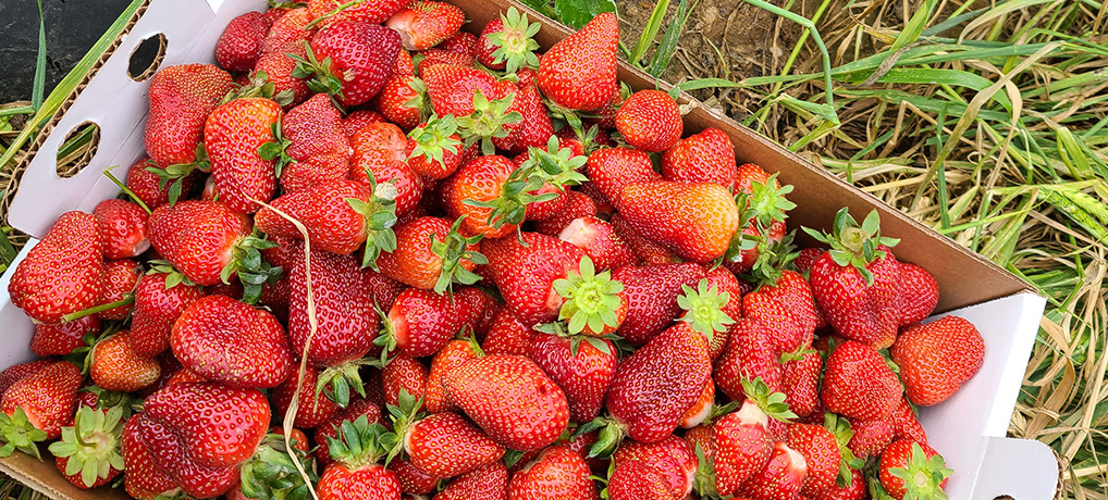 Pick-your-own Strawberries!